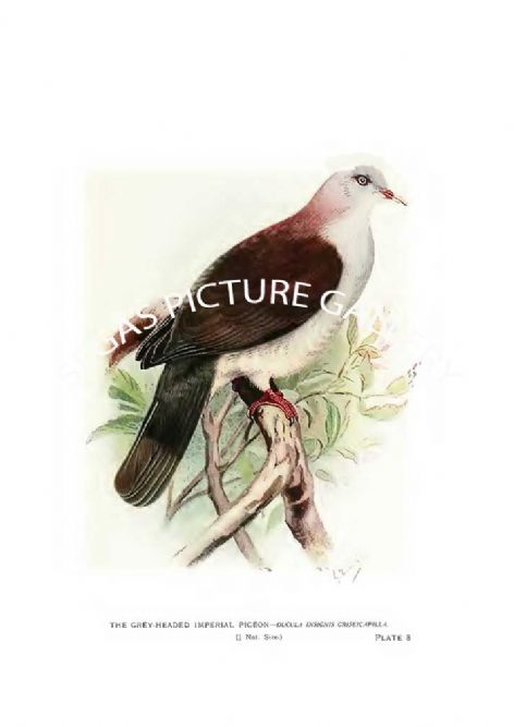 Fine art Print of the Pigeon, the Grey-Headed Imperial